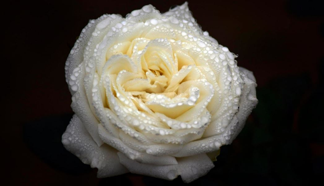 Rose Petals_3